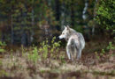 Finnland: Zahl der Wölfe binnen eines Jahres um 16 % gestiegen