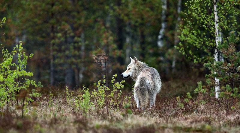 finnland wolf