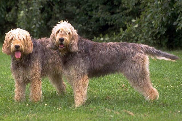 Otterhund Hunderasse