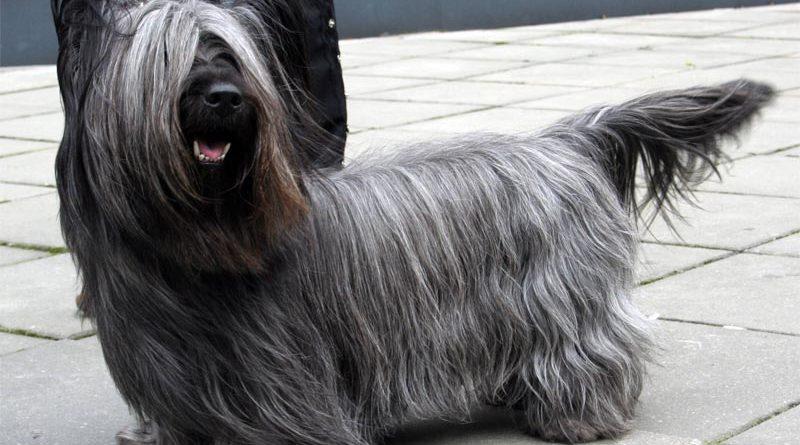 Skye Terrier Hunderasse
