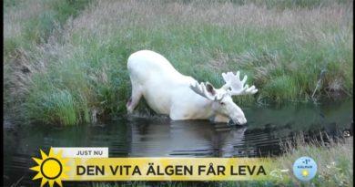 Weißer Elch Schweden