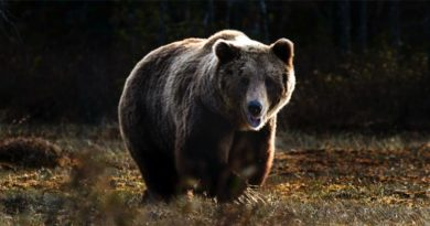 Bären Estland