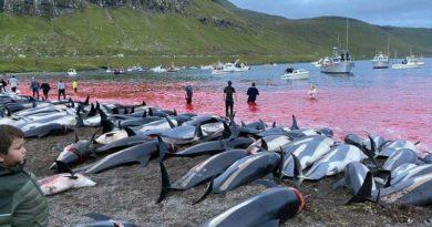 Färöer Delfine Waljagd