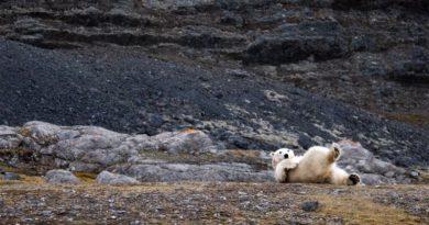 Norwegen: Treibt der Klimawandel Eisbären geradewegs in die Inzucht?