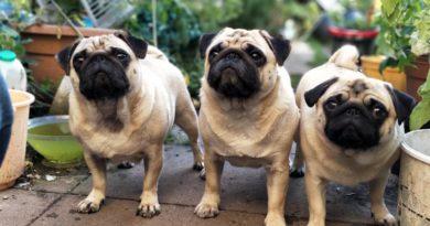 Haustierdiebstahl Großbritannien