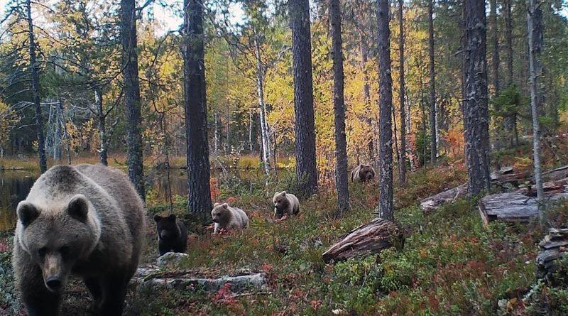 Bären Finnland