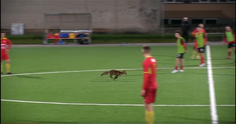 Estland: Neugieriger Fuchs unterbricht Fußballspiel (Video)