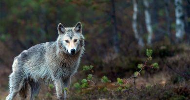 Wolf Finnland